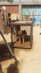تجارة الحيوانات المفترسة تحتل الترتيب الثالث بعد المخدرات والسلاح فى مصر
