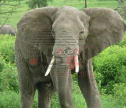 "قتل فيل هندي يودي بحياة "" 15 شخصا """