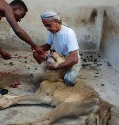 حديقة الحيوان تكشف حقيقة «مجاعة الأسود» بالجيزة
